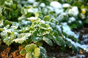 Nizke temperature, zaščita rastlin
