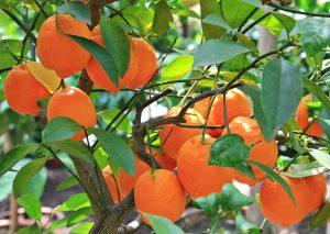 Prezimovanje agrumov